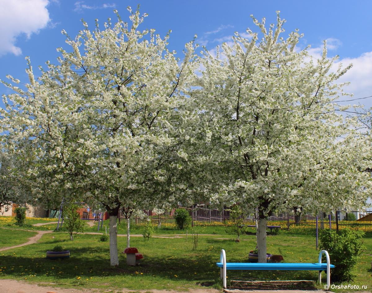 Орша — лавочка у цветущих яблонь весенним днем